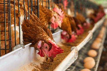 Permits issued for importation of maize to feed poultry – Agric Ministry